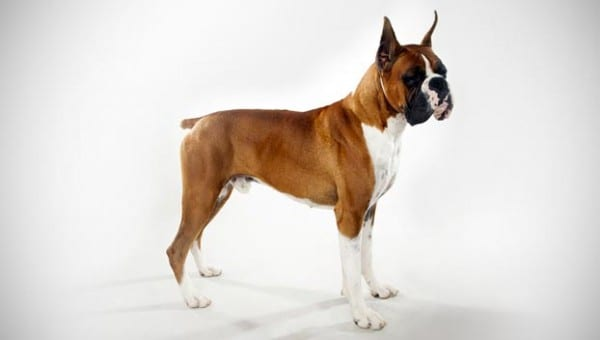 Most Dangerous Dogs In 2016 - Boxer