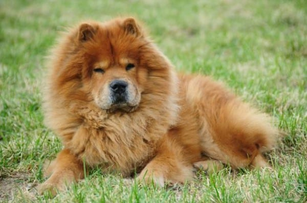 Chow- Chows