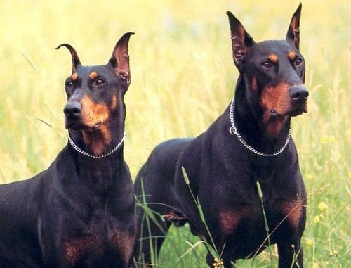 Most Dangerous Dogs In 2016 - Doberman Pinschers