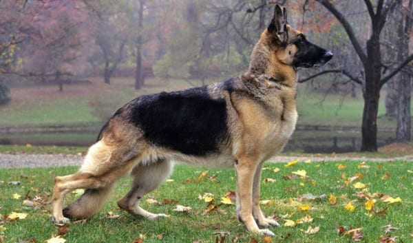 Most Dangerous Dogs In 2016 - German shepherds