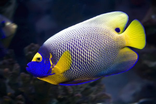 Most Beautiful Fishes - Blue Face