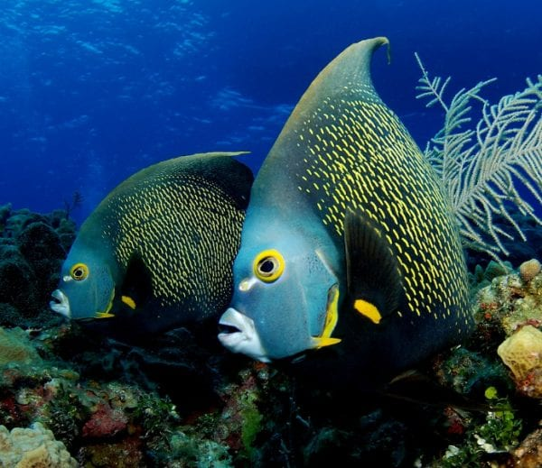 Most Beautiful Fishes - French Angel