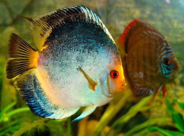 Most Beautiful Fishes - Symphysodon Discus