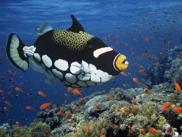 Most Beautiful Fishes - Triggerfish